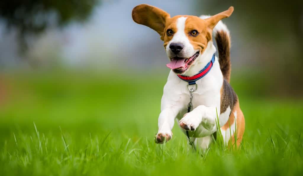 Dog floppy ears Meadowhouse